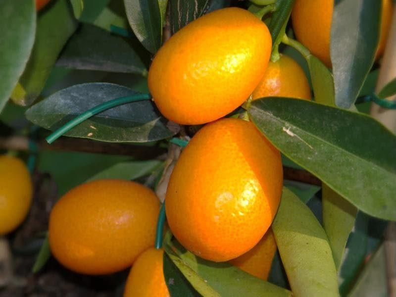 kumquats-633a126-663aca2dde78355298eb3646216b4da7-9853216-2
