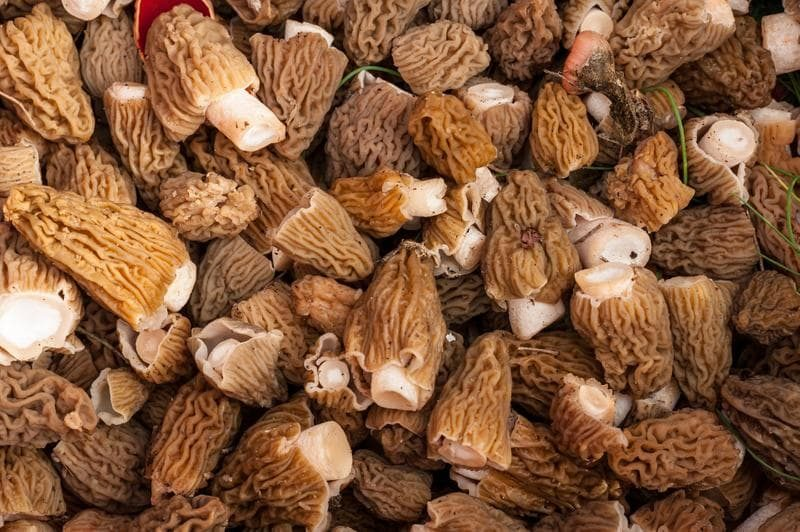 morel-mushrooms-633a126-8b04ec3e0c8b65e8a3b9d7bc3bd059c5-9321233-2