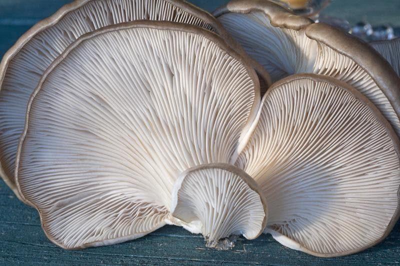 oyster-mushrooms-633a126-3d9c6c348d2a3a8fe3e62b1c9e65276e-8964260-2